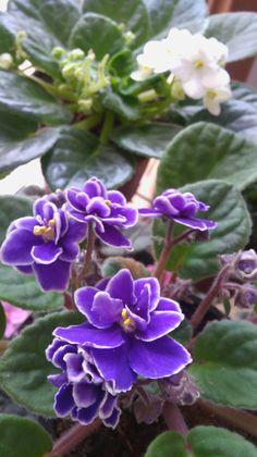 Flowers Garden, Planting Flowers, Purple Flowers, Wild Flowers, Simply Beautiful, Beautiful Flowers, Remembering Mom, Growing Veggies, African Violet