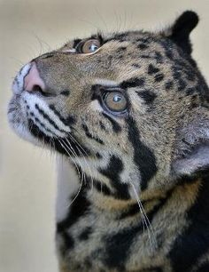 One last shot of Ganda the Clouded Leopard before she earns her Backstage Pass at the San Diego Zoo. Cheetahs, Beautiful Cats, Animals Beautiful, Big Cats, Cute Cats, Animals And Pets, Cute Animals, Gato Grande, Clouded Leopard