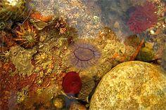Aberdour Bay, Rock pool - geograph.org.uk - 825647 - List of British Isles rockpool life - Wikipedia, the free encyclopedia