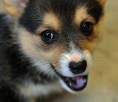 :D corgi pup