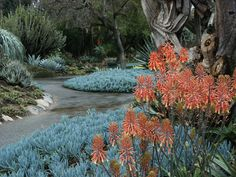 Aloe saponaria (Zebra or African aloe) and Blue Stick succulents (Senecio mandraliscae), showing pathways and garden layout and design.