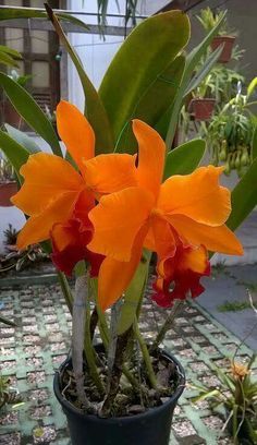 This cattleya is lovely. I see these orchids and want to know its name and any … This cattleya is lovely. I see these orchids [. Rare Orchids, Rare Flowers, Flowers Nature, Exotic Flowers, Amazing Flowers, Beautiful Flowers, Orchids Garden, Orchid Plants, Tropical Flowers