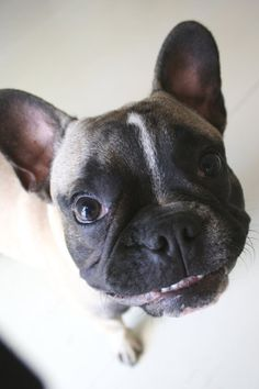 Duke our french bulldog