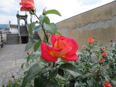 Růže v Růžové zahradě - Děčín