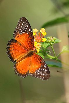 ~Red Lacewing~