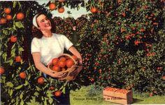 Vintage Postcard  Picking Oranges in Florida Unused by VintagePlum
