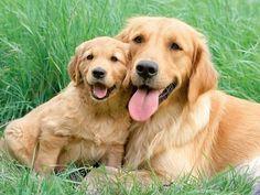 Cute golden retrievers! {Dog} {Pets} {Pet Photography} {Puppy}                                                                                                                                                                                 More