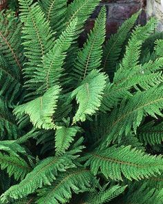 Polystichum Setiferum - A native evergreen with graceful arching fronds that drop at the tips as they unfurl, showing light coloured undersides. Under the Fatshedera Backyard Plants, Garden Shrubs, Garden Trees, Shade Garden, Backyard Landscaping, Evergreens For Shade, Evergreen Shrubs, Landscape Design, Garden Design