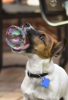 What's not to love about a Jack Russell Terrier catching a giant bubble in his mouth?she looks exactly like my Khloe♥ Cute Puppies, Cute Dogs, Dogs And Puppies, Doggies, Baby Dogs, Baby Animals, Funny Animals, Cute Animals, Dog Pictures