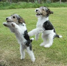 WFT puppies jumping