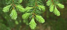 GRAN - Picea abies