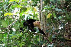 nature safari in rio frio - white face monkey or capuchin