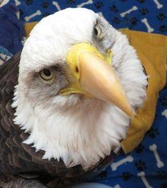 Eagle Pictures, American Symbols, Raptors, Bald Eagle, Bird, Animals, Beautiful, Friends, Amigos