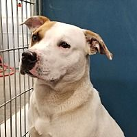 Henderson Nc American Bulldog Meet Scarface A Dog For Adoption Urgent Pitbull Terrier Dog Adoption Save A Dog