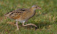 Kwartelkoning | Vogelbescherming.nl