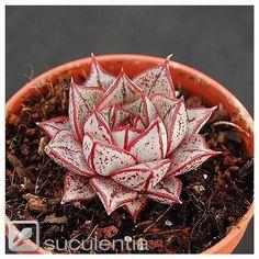 Echeveria purpusorum white form | Leo González | Flickr