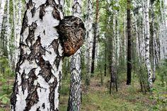 Tree Burl, Mushroom Identification, Alternative Treatments, Health And Beauty, Stuffed Mushrooms, Internet, Magick, Therapy, Stuff Mushrooms
