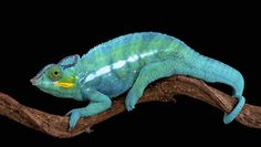 Madagascar's panther chameleon is really 11 separate species | MNN - Mother Nature Network