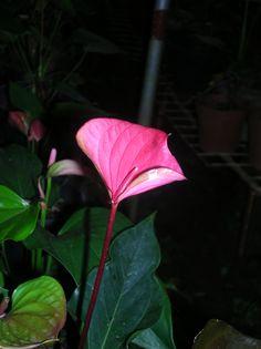For All Anthurium Needs.. Kandy, Sri Lanka