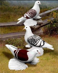 Good Night Beautiful, Beautiful Morning Messages, Beautiful Love Pictures, Good Night Sweet Dreams, Beautiful Birds, Animals Beautiful, Cute Animals, Zoo Art, Pigeon Breeds