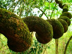 spiral moss covered branch  beautiful nature…love…