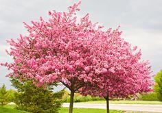 """ARBRE DE JUDEE ____ """"« Bouton rouge » ou « Gainier », chacun l'appelle comme il veut, mais son nom courant reste l'arbre de Judée. Les scientifiques l'appellent Cercis siliquastrum. Vous avez envie de planter un arbre dans votre jardin ? Même si vous n'avez pas beaucoup d'espace, c'est tout à fait possible grâce à l'arbre de Judée. Fleurs roses à profusion et feuilles jaunies et cuivrées au printemps, cet arbre reste élégant toute l'année et donne à votre jardin un charme incontournable…"""