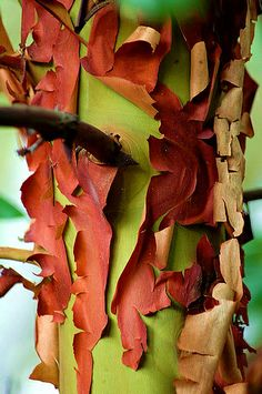 The curling, peeling bark of the Arbutus tree (Arbutus menziesii) forms abstract patterns. The Arbutus, relatively common on the south end of Vancouver Island, is the only evergreen broad-leafed tree in Canada. Mother Earth, Mother Nature, Arbutus Tree, Strawberry Tree, Wood Bark, Unique Trees, Nature Tree, Tree Bark, Patterns In Nature