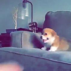 Non-stop jumping - Cute Corgi Puppy Rule The World Funny Animal Memes, Dog Memes, Cute Funny Animals, Cute Baby Animals, Funny Cute, Funny Dogs, Cute Cats, Cute Corgi, Cute Puppies
