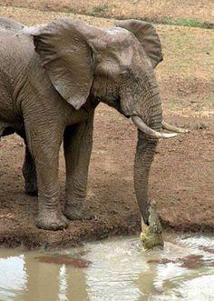 Kuvan ottaneen Ian Salisburyn mukaan elefantti oli välikohtauksesta eniten yllättynyt. Se pääsi krokotiilista eroon kärsäänsä heilauttamalla...