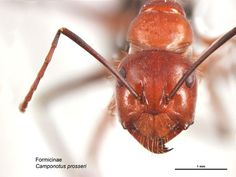 ant from the front - Google Search