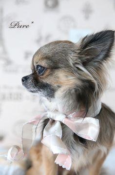 Chihuahua <3 #Chihuahua
