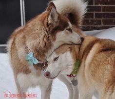 Roxie and Apollo! Husky Snow Hugs! Siberian huskies