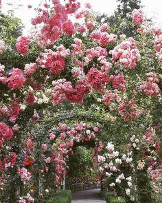 The Rose Garden at The Butchart Gardens. Image by rachel.nt on Instagram #ExploreVictoria #rosegarden
