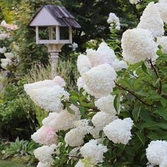 Yellow Roses, White Roses, White Flowers, Garden Design Plans, Backyard Garden Design, Vanilla Strawberry Hydrangea, Planting Potatoes, Planting Roses, Mini Roses