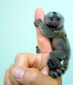 The planet's smallest living primate, finger monkeys are also known as pocket monkeys or tiny lions.    Indigenous to the rain forests of Brazil, Peru, Ecuador, and Colombia, the common finger monkey can grow up to 14 inches.