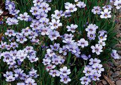 Sisyrinchium 'Devon Skies' blue-eyed grass