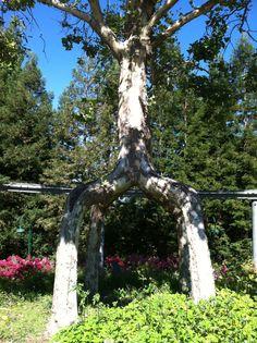 Circus tree at Gilroy Gardens