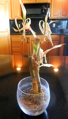 Keep Your Lucky Bamboo Lucky And It Will Take Care Of You. Why it looks so easy to keep yet you kill it over and over. Here are the secrets of keeping it alive and bring peace, harmony, weath, love and happiness to your home.