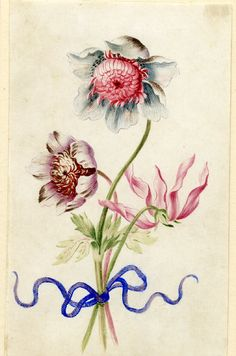 Drawing from an album, white and crimson, white and purple Anemones and a Dog's Tooth Violet (shown pink), tied with blue ribbon Watercolour over metalpoint, on vellum by Alexander Marshal. © The Trustees of the British Museum