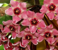 Hoya flowers - Flickr - Photo Sharing!