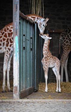 Baby Rothschild giraffe at Chester Zoo.