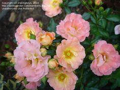 Shrub Rose 'Peach Drift' (Nursery in Jonesboro 2010)