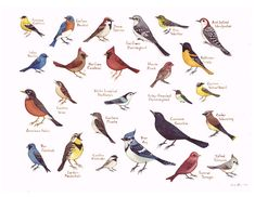 Eastern North Carolina Birds Field Guide Style Watercolor Painting Print Songbirds. $30.00, via Etsy.