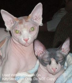 57 Best Sphynx Cats & Kittens images in 2013 | Cats, Sphynx, Sphynx cat
