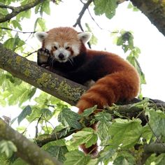 Friendly Red Panda at Cotswold Wildlife Park, Oxfordshire, England