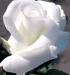 My absolute favorite: a white rose. Beautiful Flowers Wallpapers, Beautiful Flowers Garden, Flowers Nature, Exotic Flowers, Amazing Flowers, Beautiful Roses, Pretty Flowers, White Roses, White Flowers
