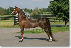 Morgan Horse - stallion Narragansett Spirit