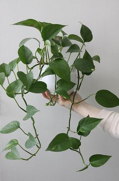 The solution for the cabinet: hanging plants