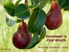 Red and green pears look perfect for the holidays. Learn more about how to select, store and prepare them. #fitness