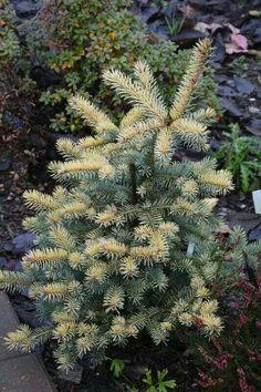 Picea pungens 'Walnut Glen' - okakuusi